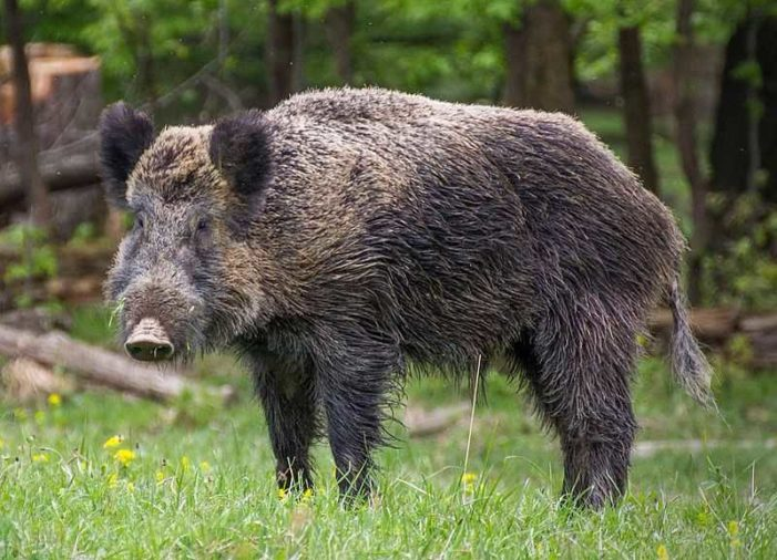 ISIS Fighters in Iraq Killed by Wild Boars Before They Can Ambush Locals