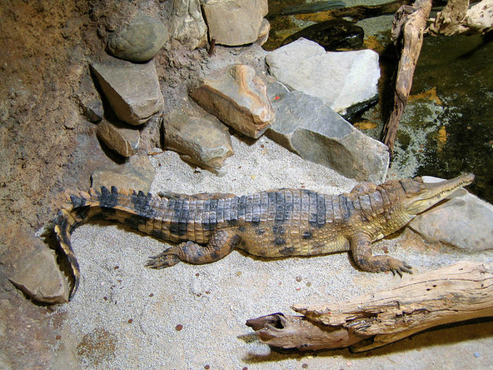 Study Announces Discovery of New Species of Crocodile, But Speciation Is Not Evolution, Says Christian Geneticist